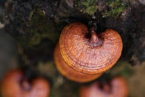 Top 10 Best Reishi Mushroom Tinctures